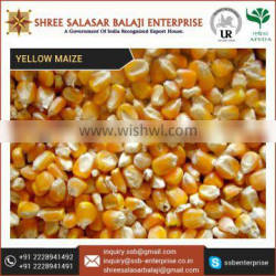 Nutrient Enriched Big Size Yellow Maize Corn from Reputed Indian Trader
