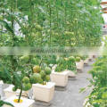 Dutch buckets for growing tomatoes hydroponic system