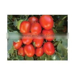 TOMATO SEEDS F1 HYBRID MANUFACTURER/TRADERS IN INDIA
