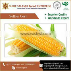 Trade Quality And High Nourishment Yellow Maize