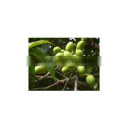 Olive Leaf Extract plant extract factory