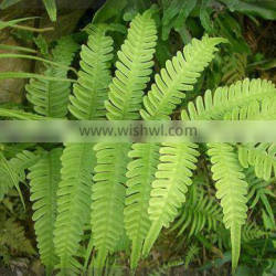 Easy to breed foliage plant Pteris cretica L. var. nervosa (Thunb.) Ching et S. H. Wu