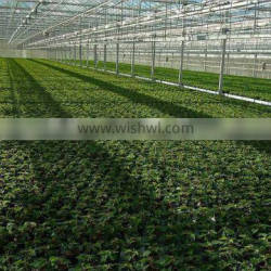 Glass multi-Span agricultural greenhouse for tomato