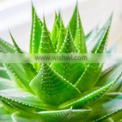 Top Quality Aloe Vera Extraction Aloin