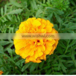 Factory supply super marigold flower extract lutein 30%