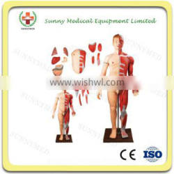 SY-N002 Human Body model Muscles with Internal Organs-28 parts