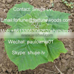 paulownia cold resistant dried stump for agriculture