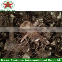 Disease-resistant fast growing paulownia shan tong root stumps