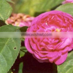 True Natural Rose Absolute Essential Oil