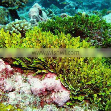 Hot product99% Soluble Seaweed extract from Ascophyllum nodosum cosmetic industry