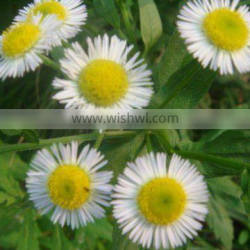 supply 100% natural Feverfew Extract Parthenolide 0.3%, 0.8% HPLC
