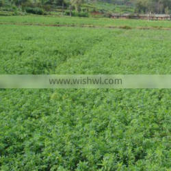 High quality alfalfa grass seed for planting