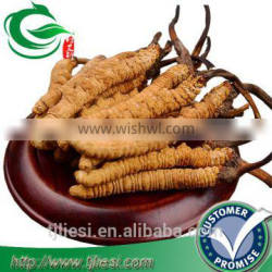 supply cordyceps sinensis not extract with low price
